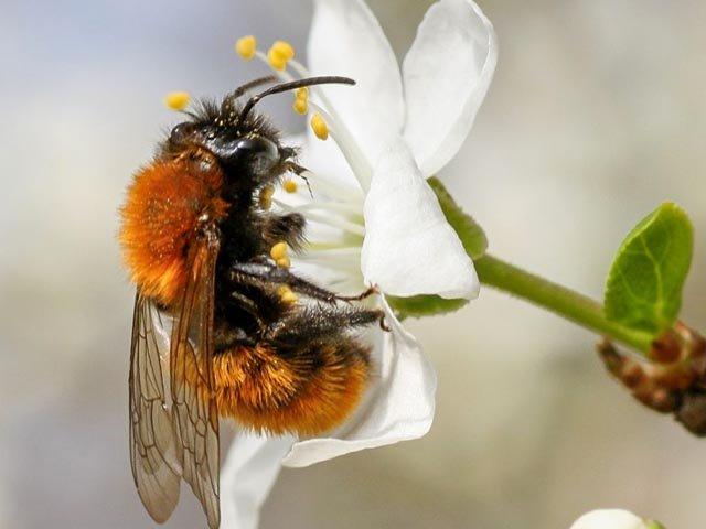 Heimische Bienen